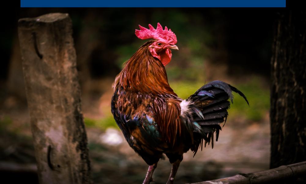foto-pollo-01